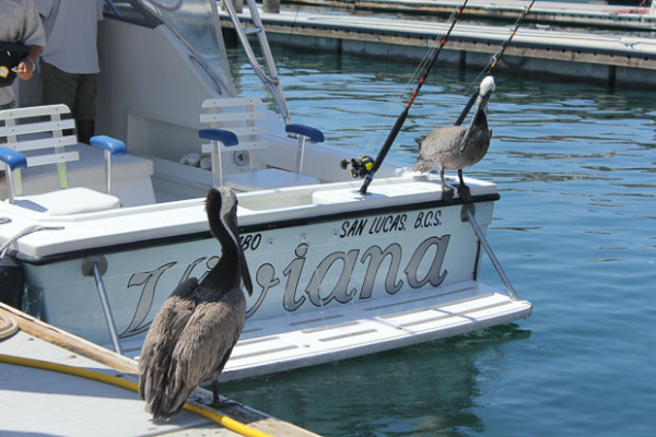 What did the one pelican say to the other?